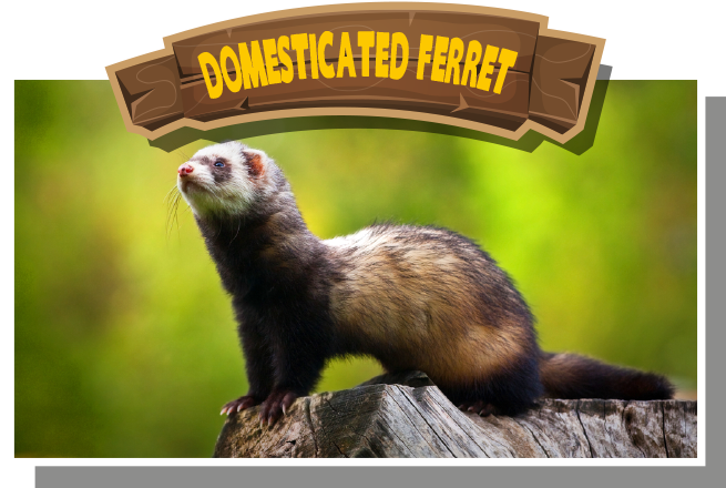 Domesticated Ferret